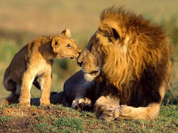 Out-of-the-world lions (1)