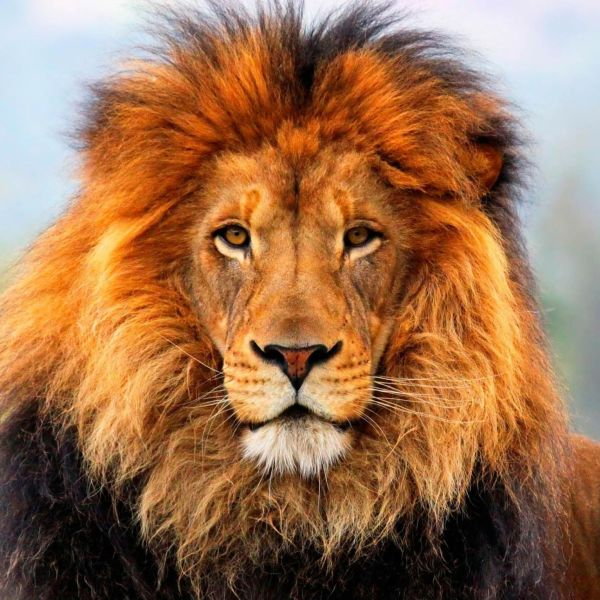Out-of-the-world lions (10)