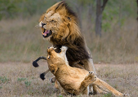 Out-of-the-world lions (11)