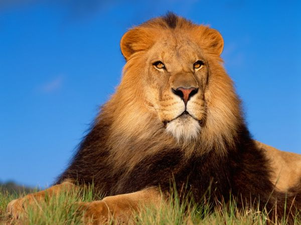 Out-of-the-world lions (17)
