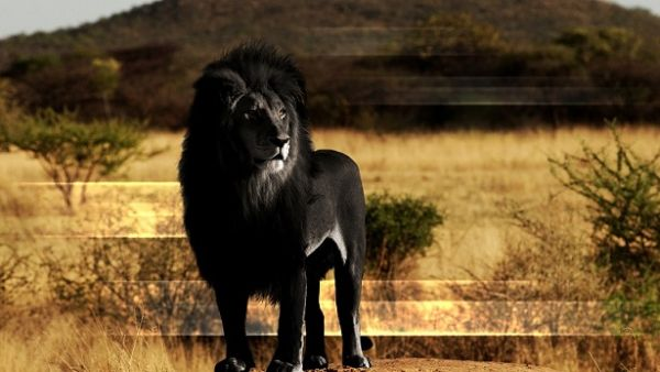 Out-of-the-world lions (9)