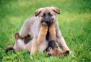 How Much Do German Shepherds Usually Cost?