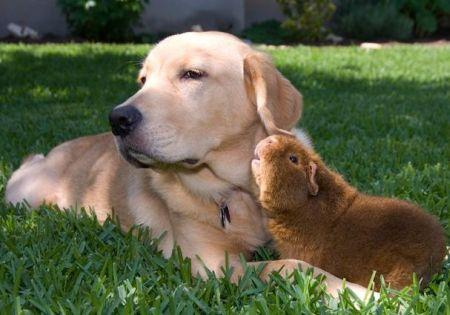 Guinea Pig and Dog