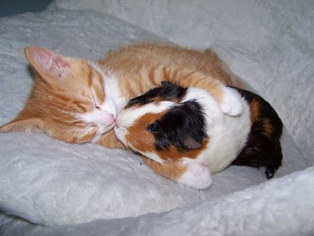 Guinea pig with cat