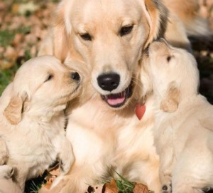 How Much Do Golden Retrievers Cost: Getting the Facts Right