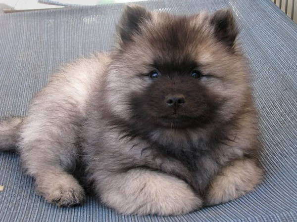 13 Exclusive Fluffiest Dogs Ever Seen (12)