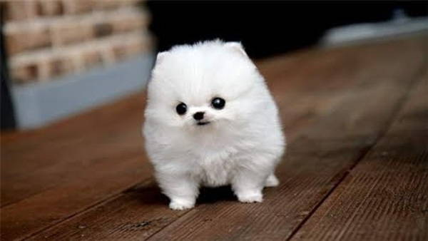 13 Exclusive Fluffiest Dogs Ever Seen (2)