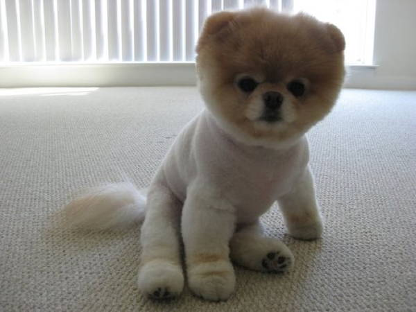 13 Exclusive Fluffiest Dogs Ever Seen (4)