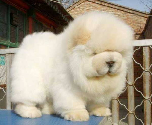13 Exclusive Fluffiest Dogs Ever Seen (5)