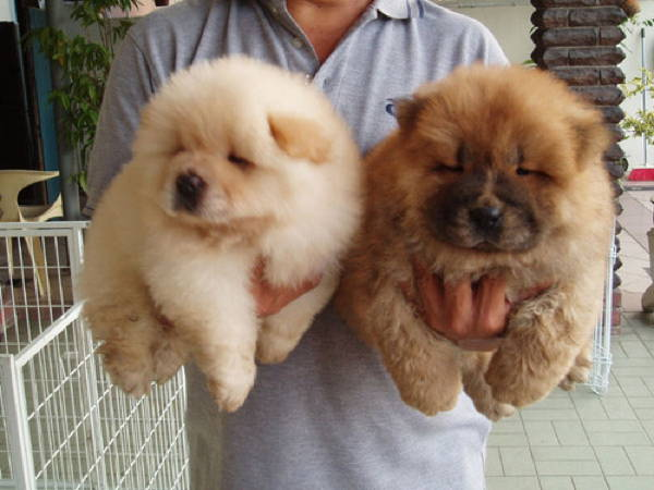 13 Exclusive Fluffiest Dogs Ever Seen (9)