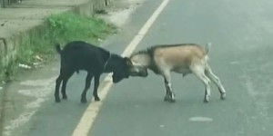 These Two Goats Stepped Out In The Road Of Flowing Traffic – What They Did Next Will Make You Laugh So Hard